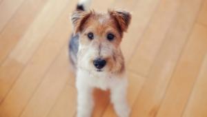 Pictures Of Fox Terrier