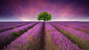 Pictures Of Lavender