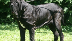Pictures Of Neapolitan Mastiff