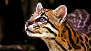 Pictures Of Ocelot