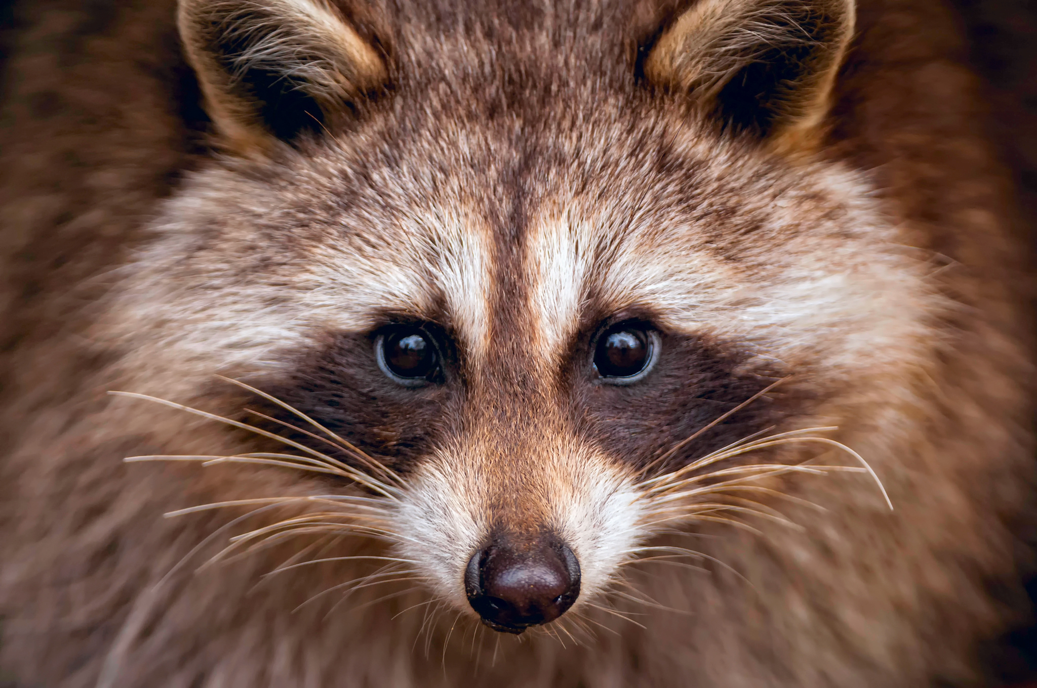 Raccoon Wallpapers Images Photos Pictures Backgrounds