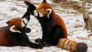 Pictures Of Red Panda