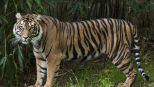 Pictures Of Sumatran Tiger