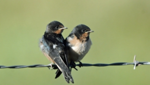 Pictures Of Swallow