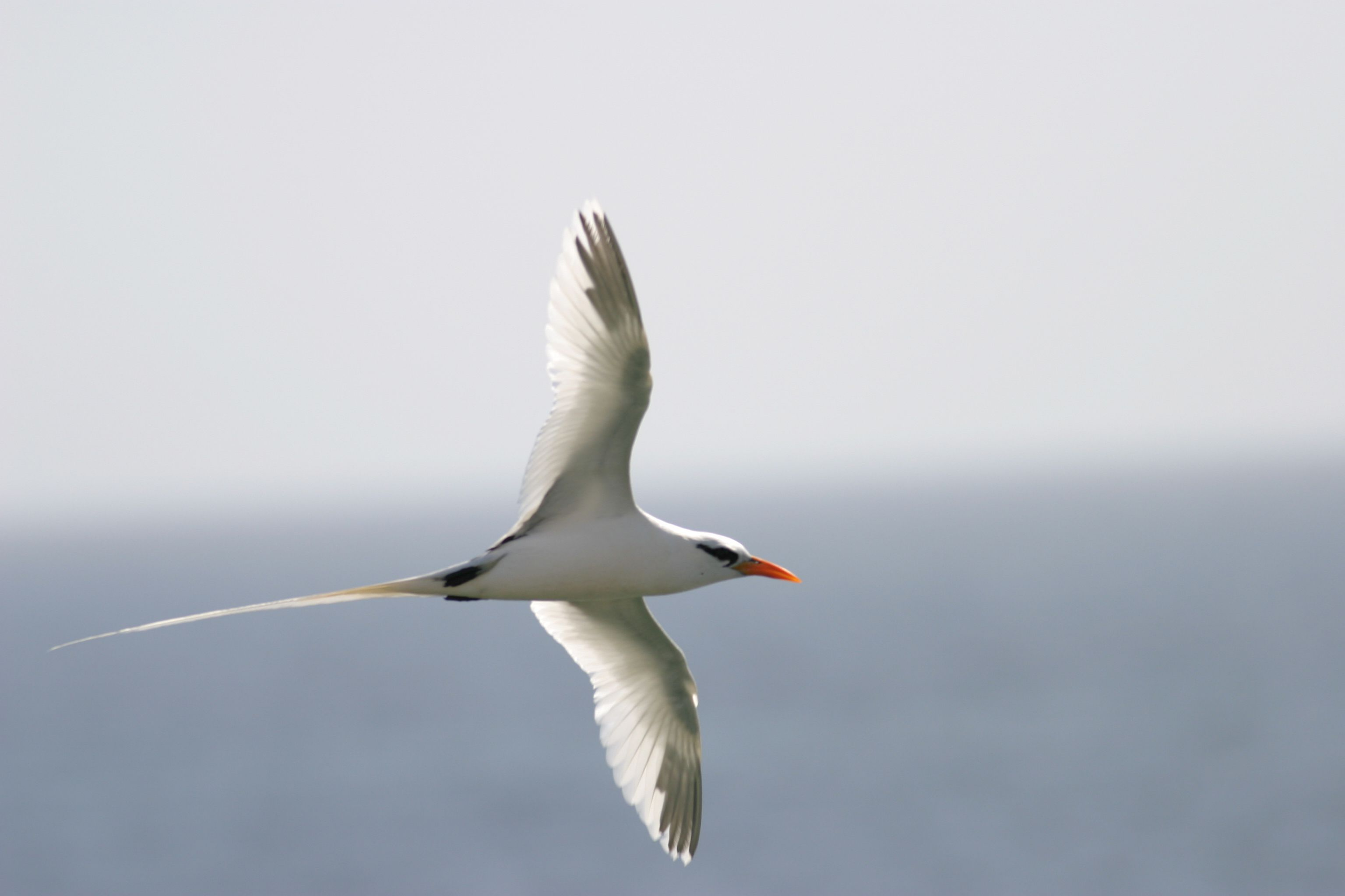 Pictures Of Tropicbird