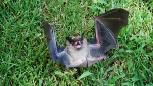 Pictures Of Vampire Bat