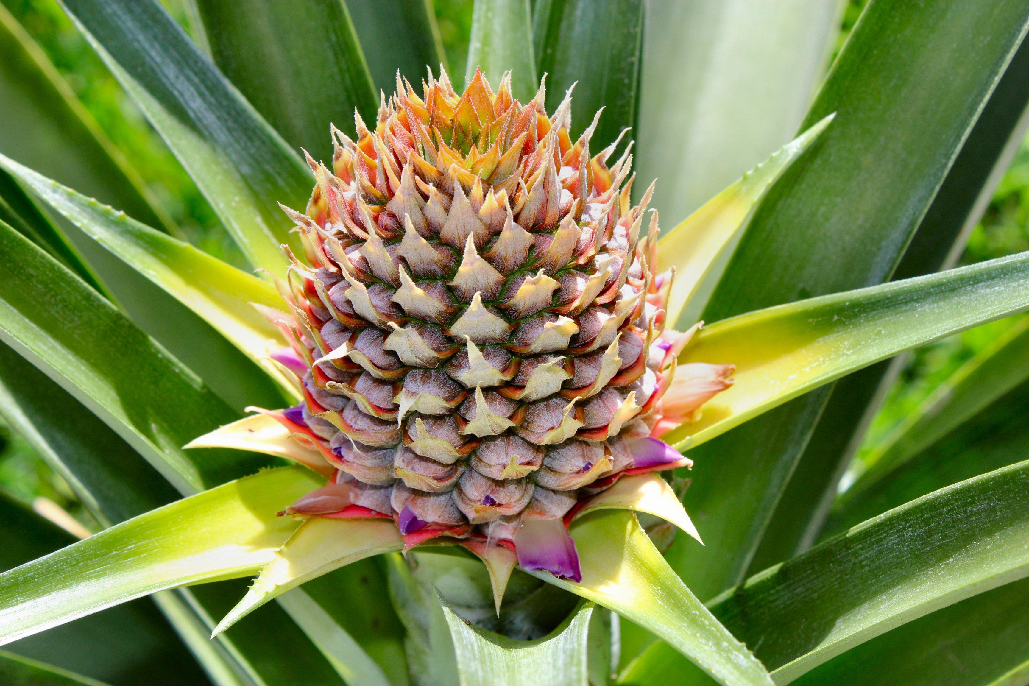 pineapple desktop wallpaper - photo #24