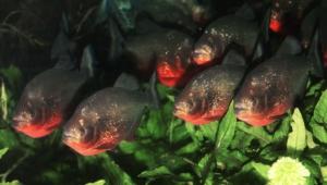 Piranha Background