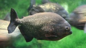 Piranha Hd Background