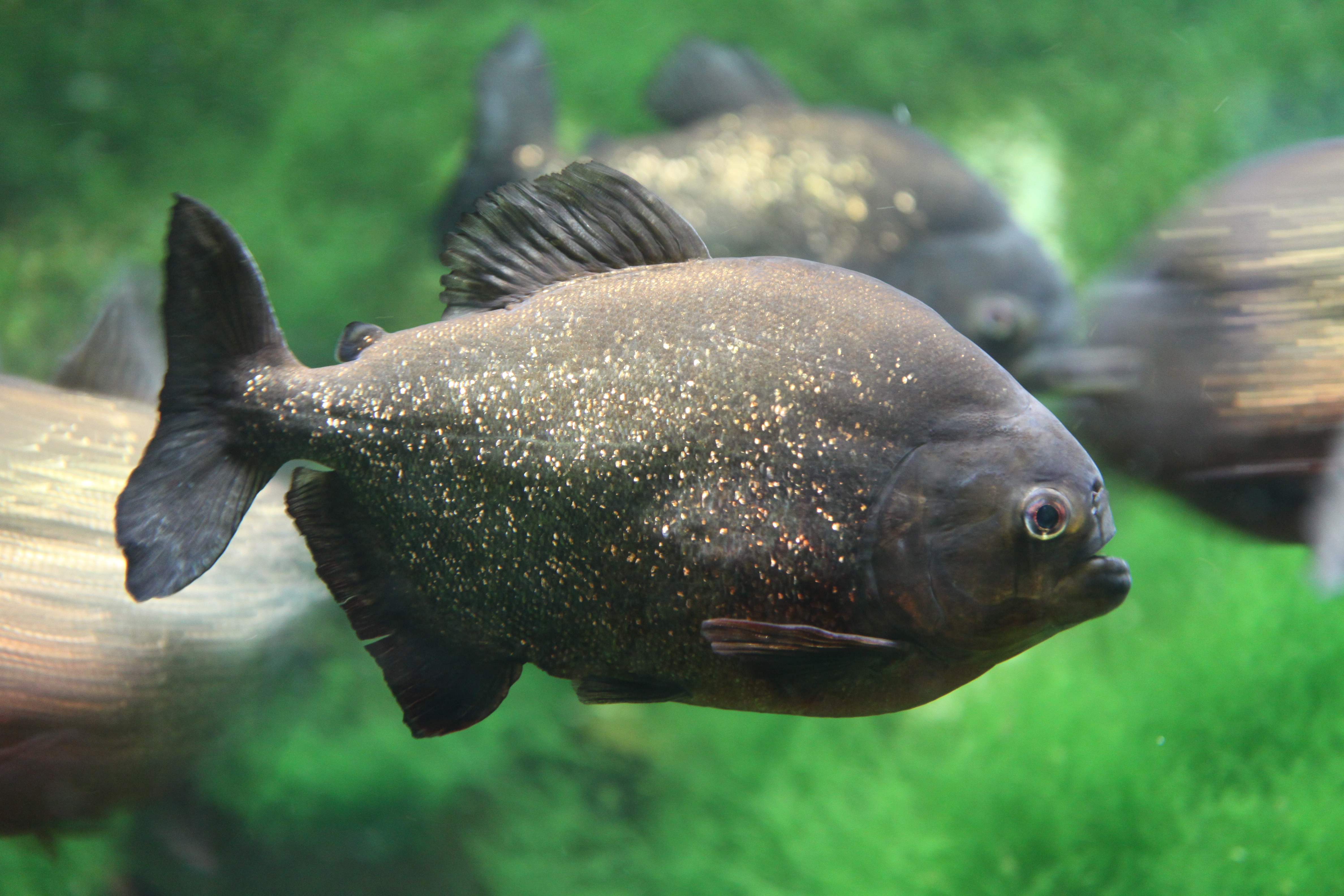 piranha wallpapers images photos pictures backgrounds