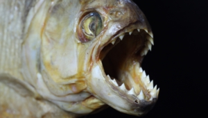 Piranha High Quality Wallpapers