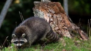 Raccoon High Definition