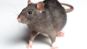 Rat 4k