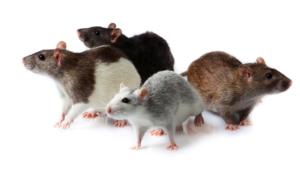 Rat Computer Wallpaper