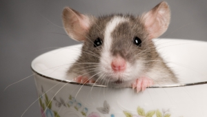 Rat Desktop