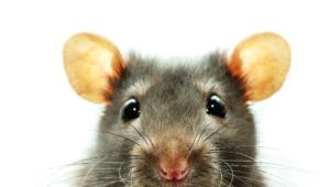 Rat Hd Wallpaper