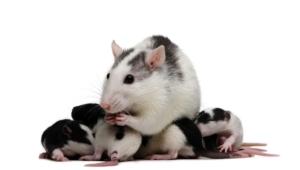 Rat Images