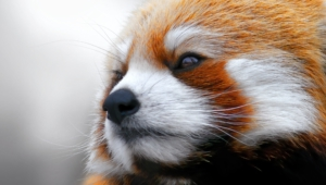 Red Panda Desktop