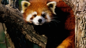 Red Panda High Definition