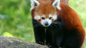 Red Panda High Definition Wallpapers