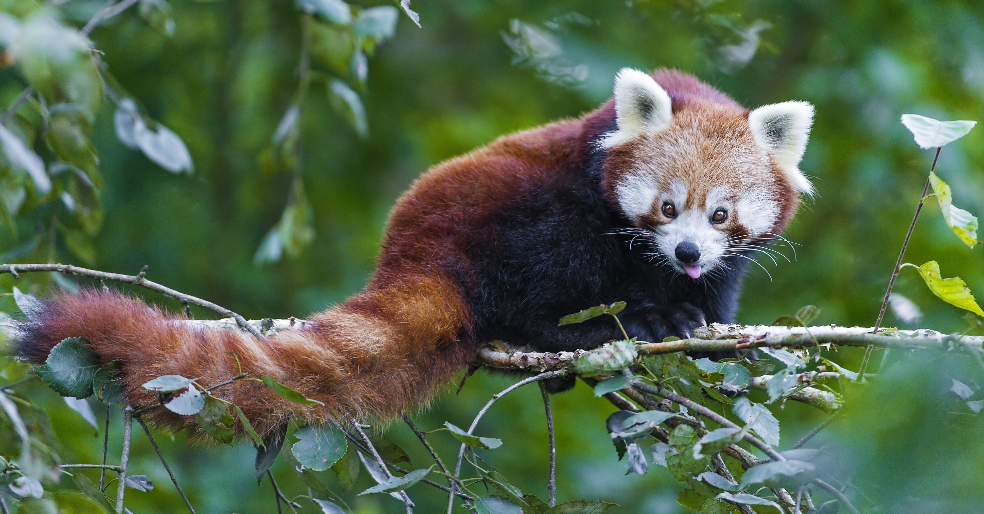 Red Panda wallpapers (56 Wallpapers) – Wallpapers For Desktop | 3447 x 1800 jpeg 4166kB