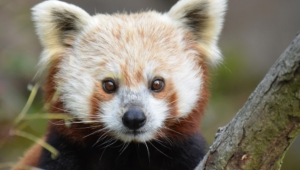 Red Panda Wallpapers Hq