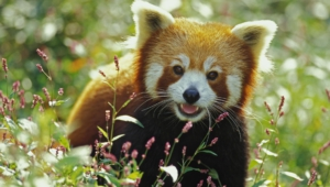 Red Panda Full Hd