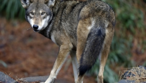 Red Wolf Hd