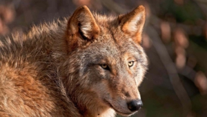 Red Wolf Hd Background