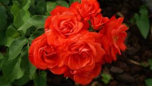 Rose Hd Desktop