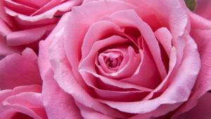 Rose For Desktop