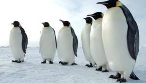 Royal Penguin Desktop