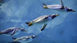 Royal Penguin Photos