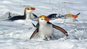 Royal Penguin Wallpapers
