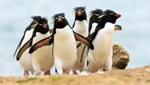 Royal Penguin Full Hd