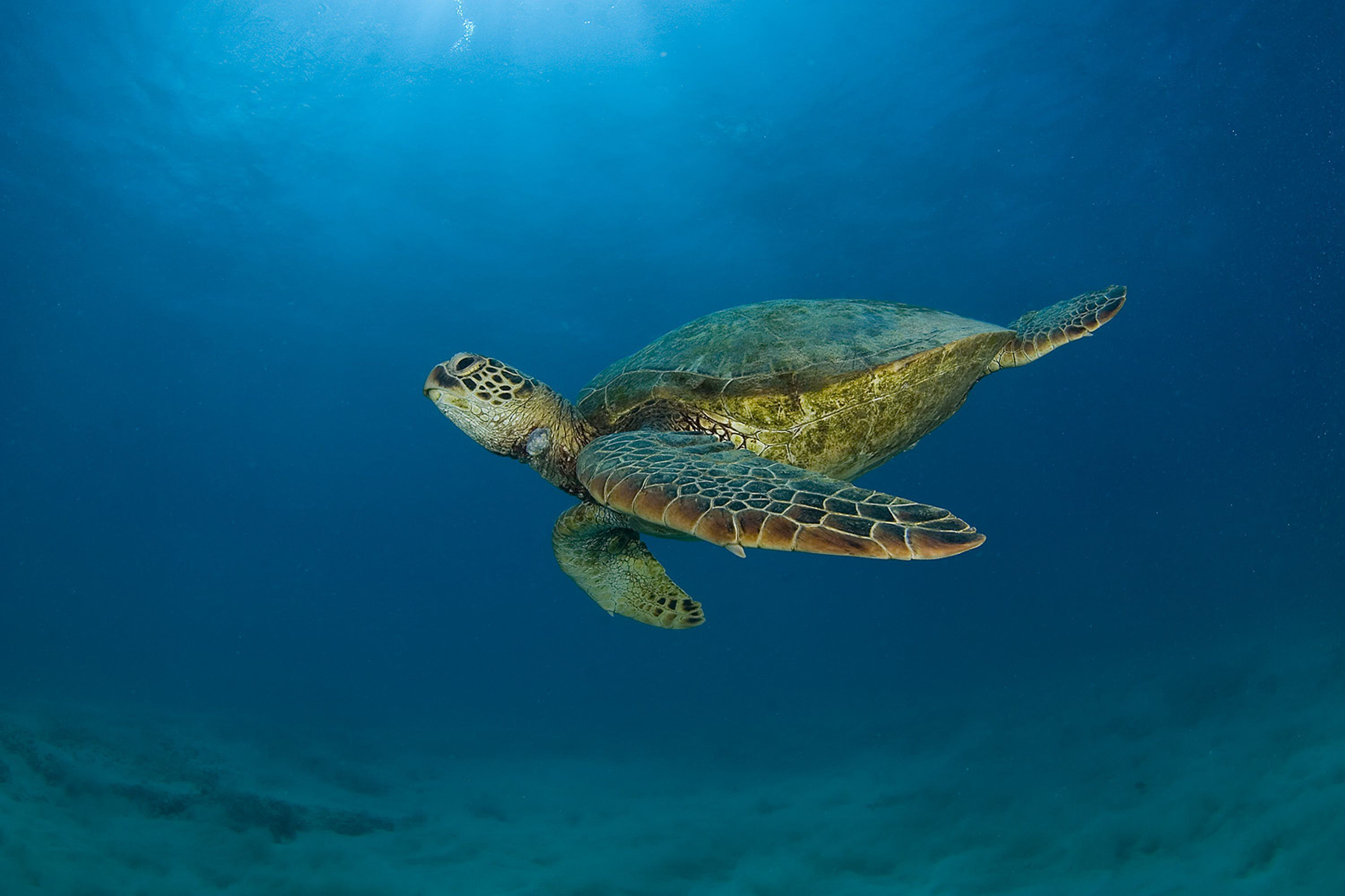 sea turtle Sea turtles sea turtles are among the largest reptiles in the world and inhabit almost every ocean fossil evidence indicates sea turtles shared the earth with dinosaurs over 210 million years ago.