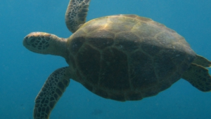 Sea Turtle Hd Wallpaper