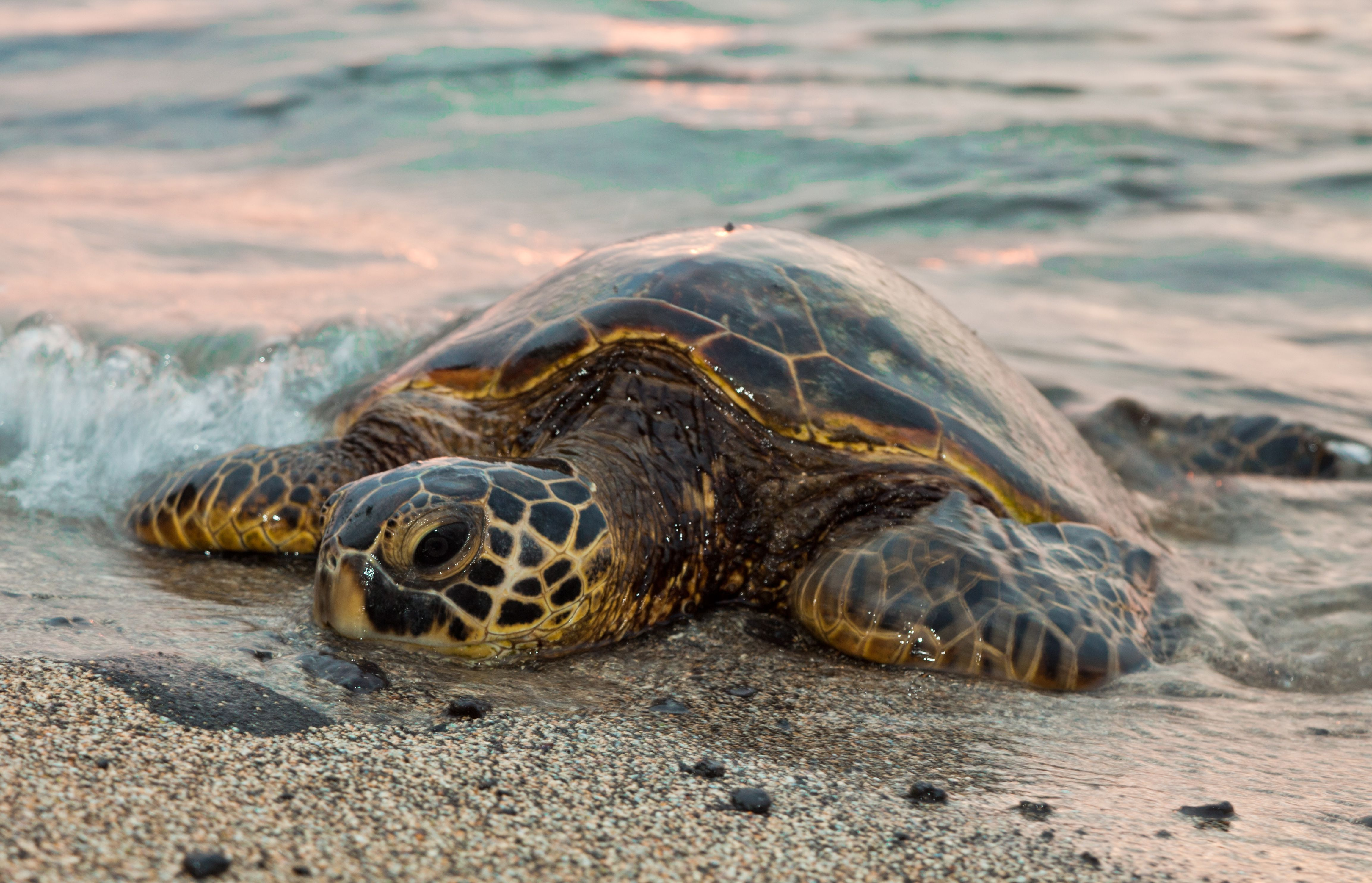 Sea Turtle Wallpapers Images Photos Pictures Backgrounds