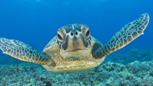 Sea Turtle For Desktop