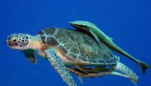 Sea Turtle Full Hd