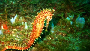 Seahorse Hd Background