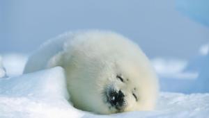 Seal 1080p