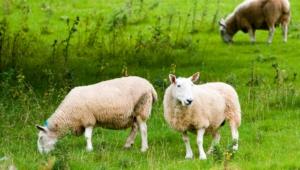 Sheep 4k