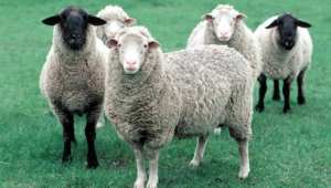 Sheep Download