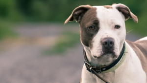 Staffordshire Bull Terrier Background