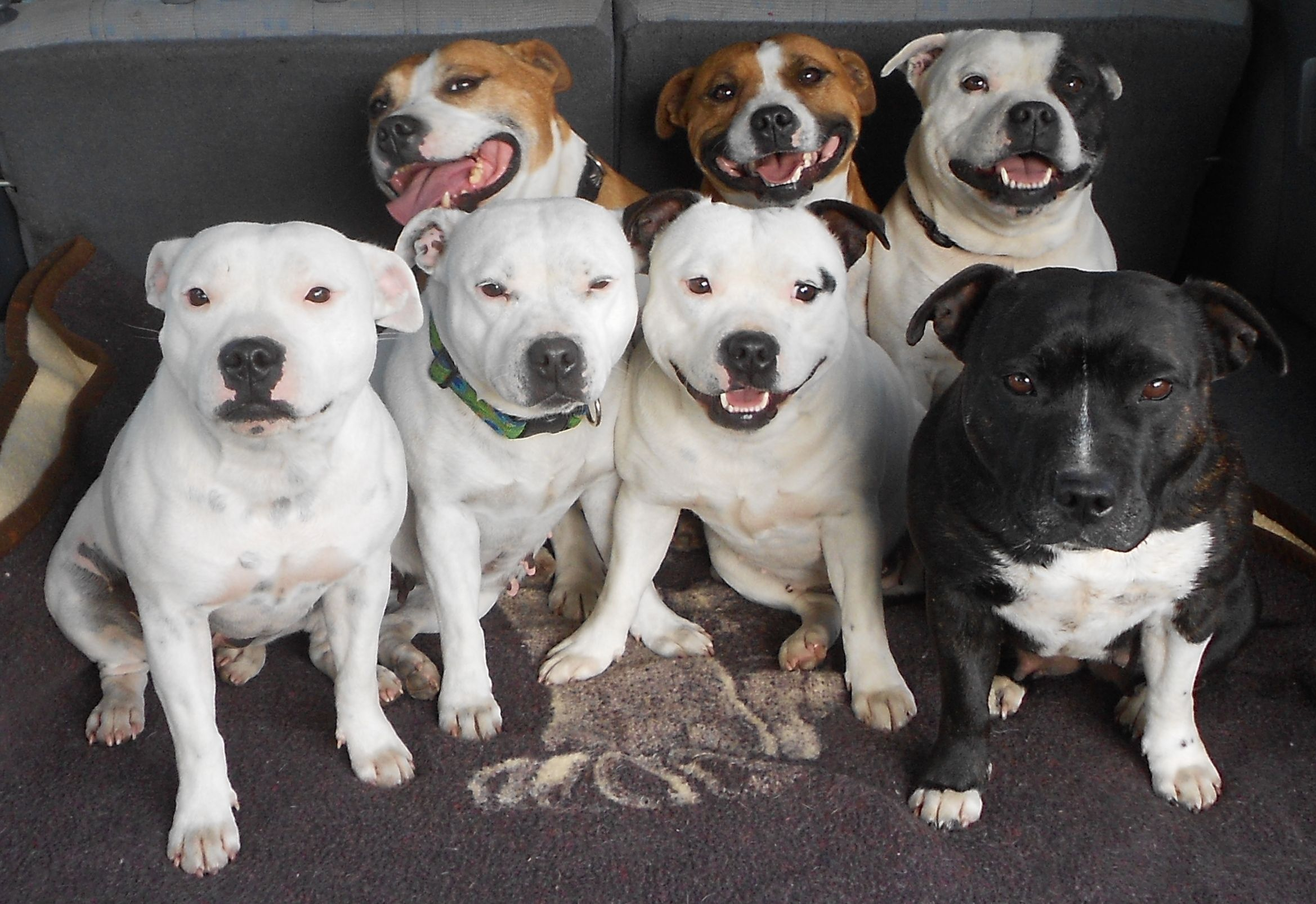 Staffordshire Bull Terrier Wallpapers Images Photos
