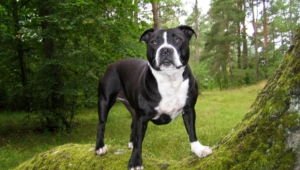Staffordshire Bull Terrier High Definition