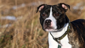 Staffordshire Bull Terrier Images