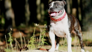 Staffordshire Bull Terrier Photos