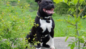 Staffordshire Bull Terrier Wallpapers